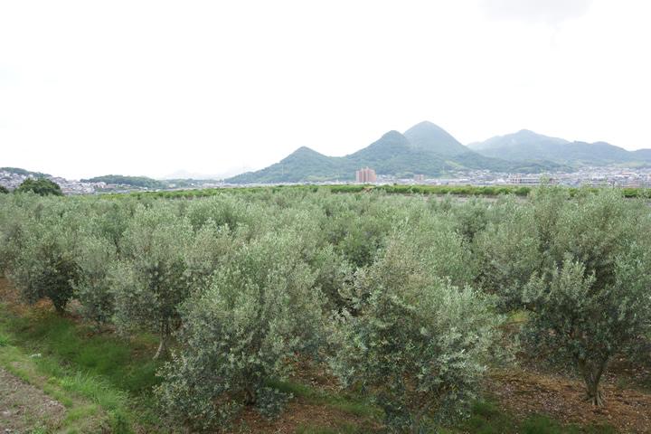 (有)創樹のオリーブ畑