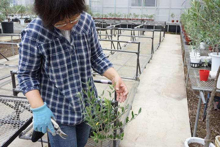 (有)創樹のオリーブ栽培
